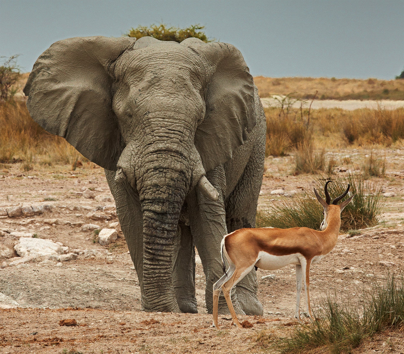 Elephant and Springbok