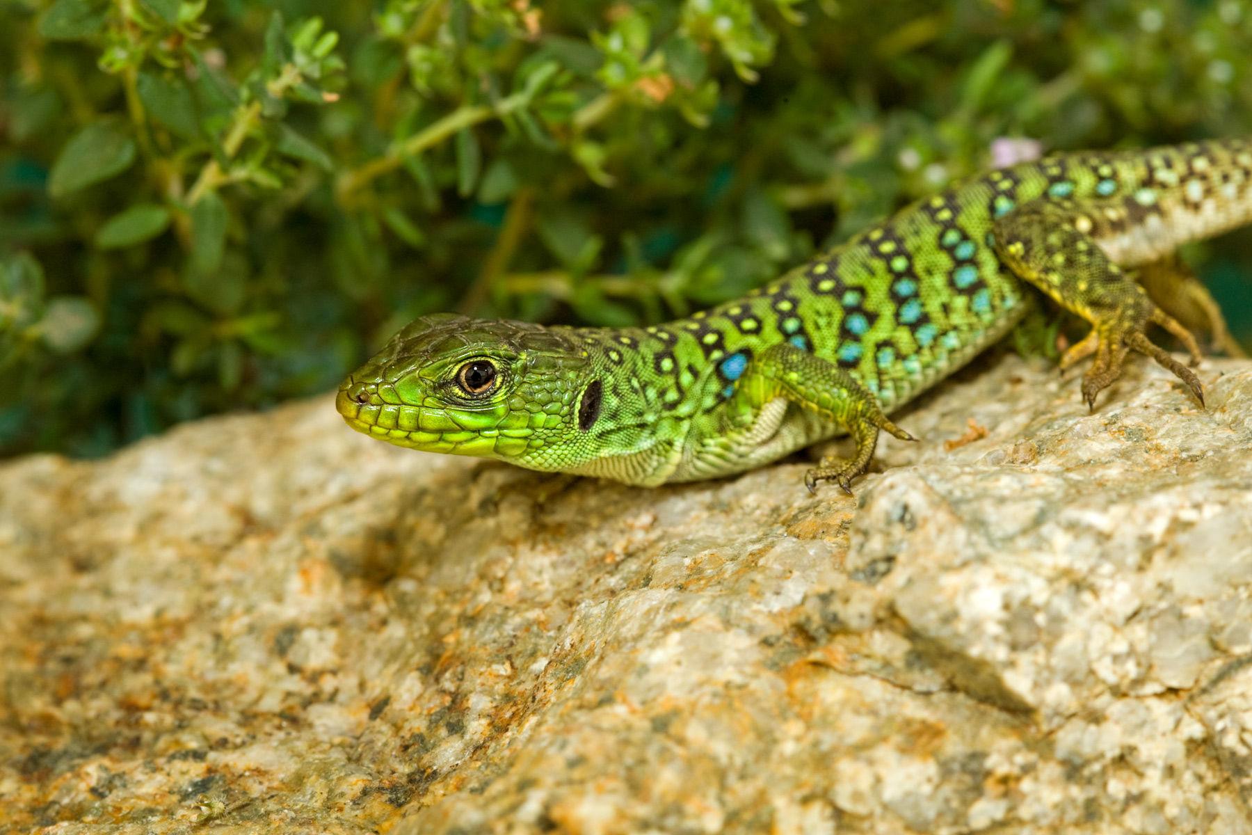 eyed lizard