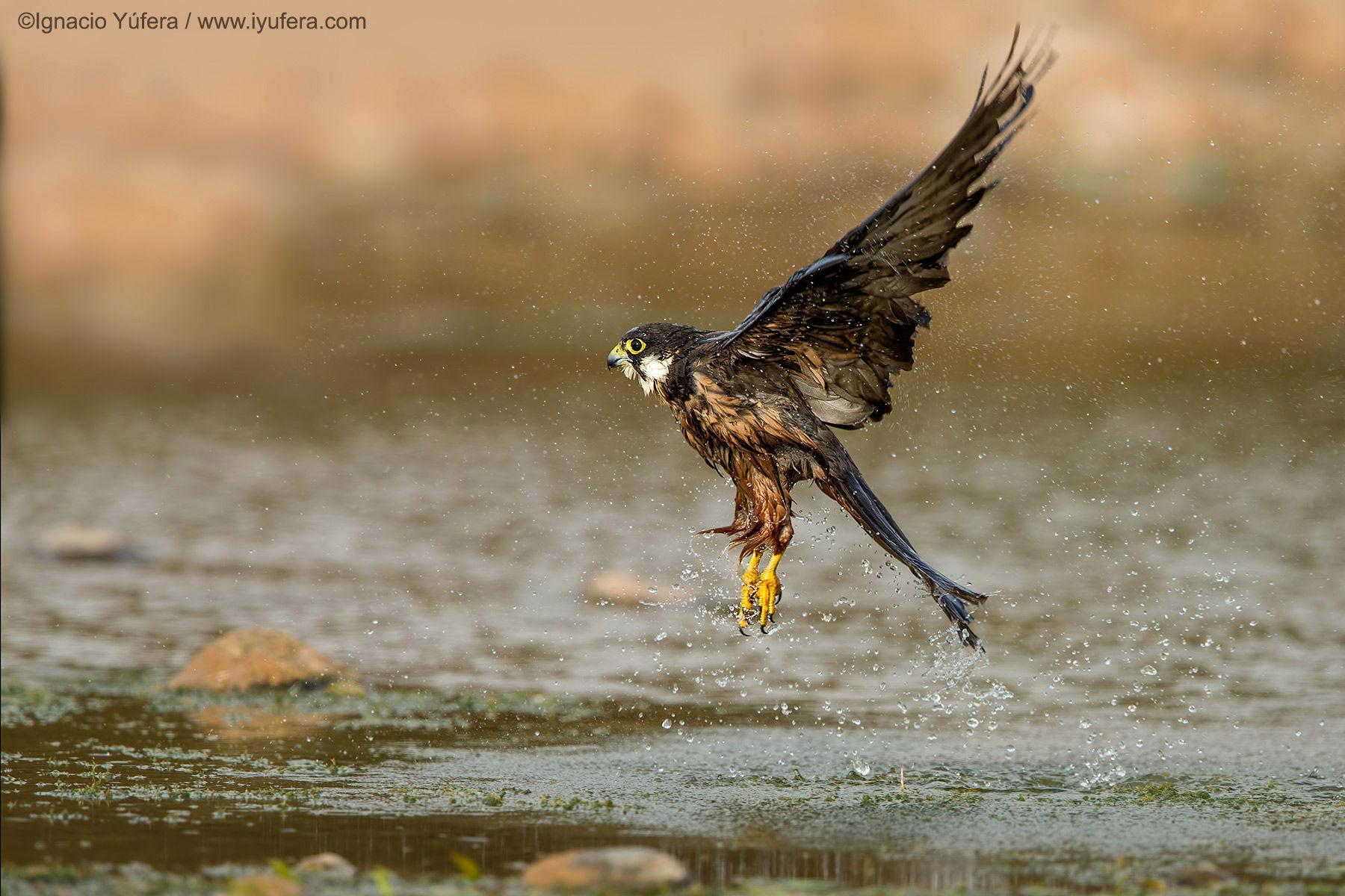 Eleonora's Falcon Drops