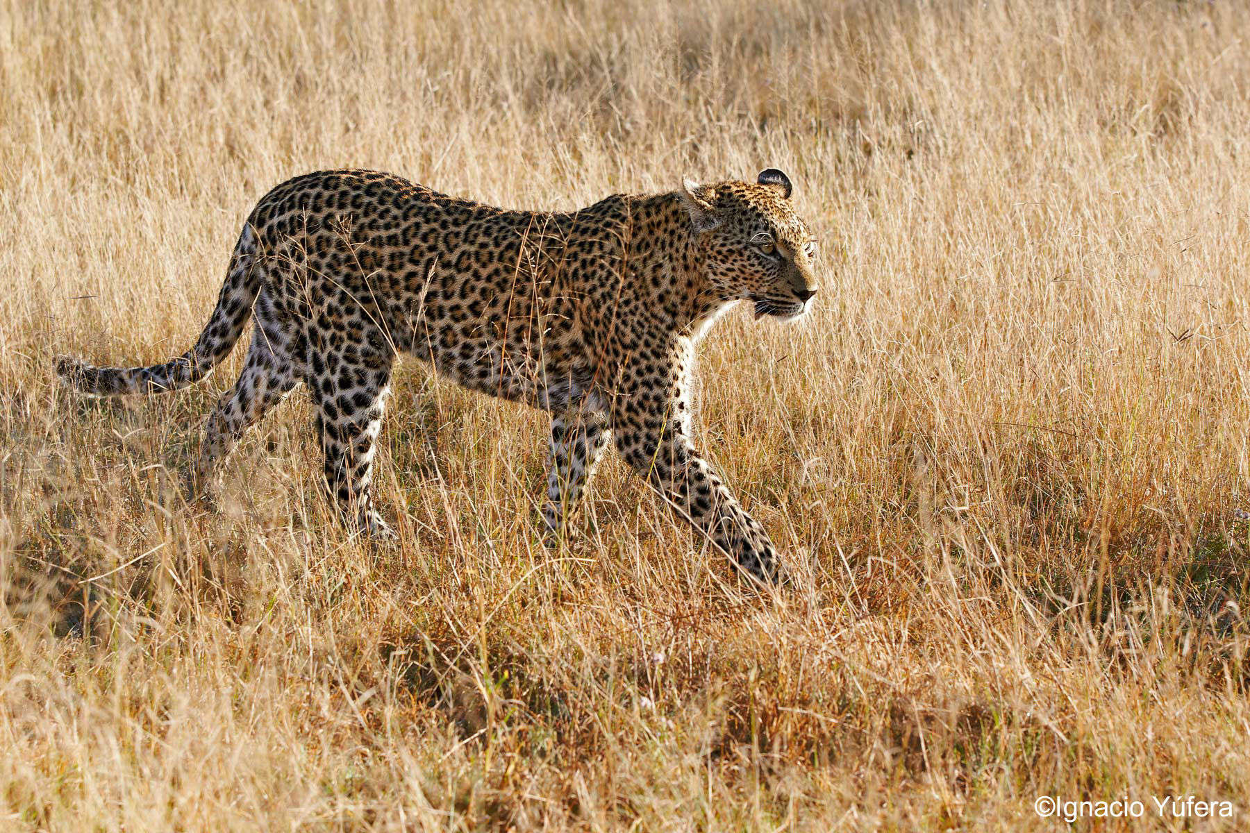 Female Leopard in long grass