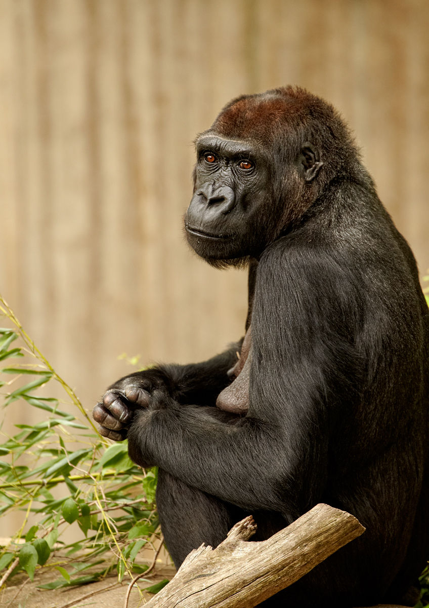 Female Iowland Gorilla