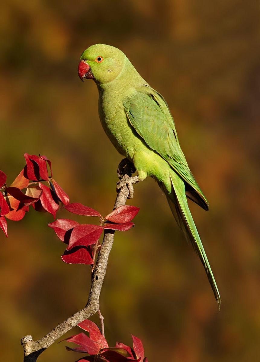 feral kramers parakeet
