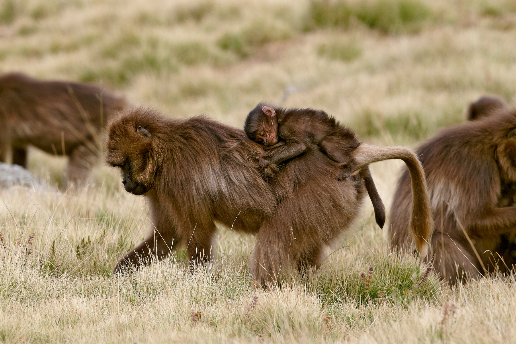 Gelada mother and infant