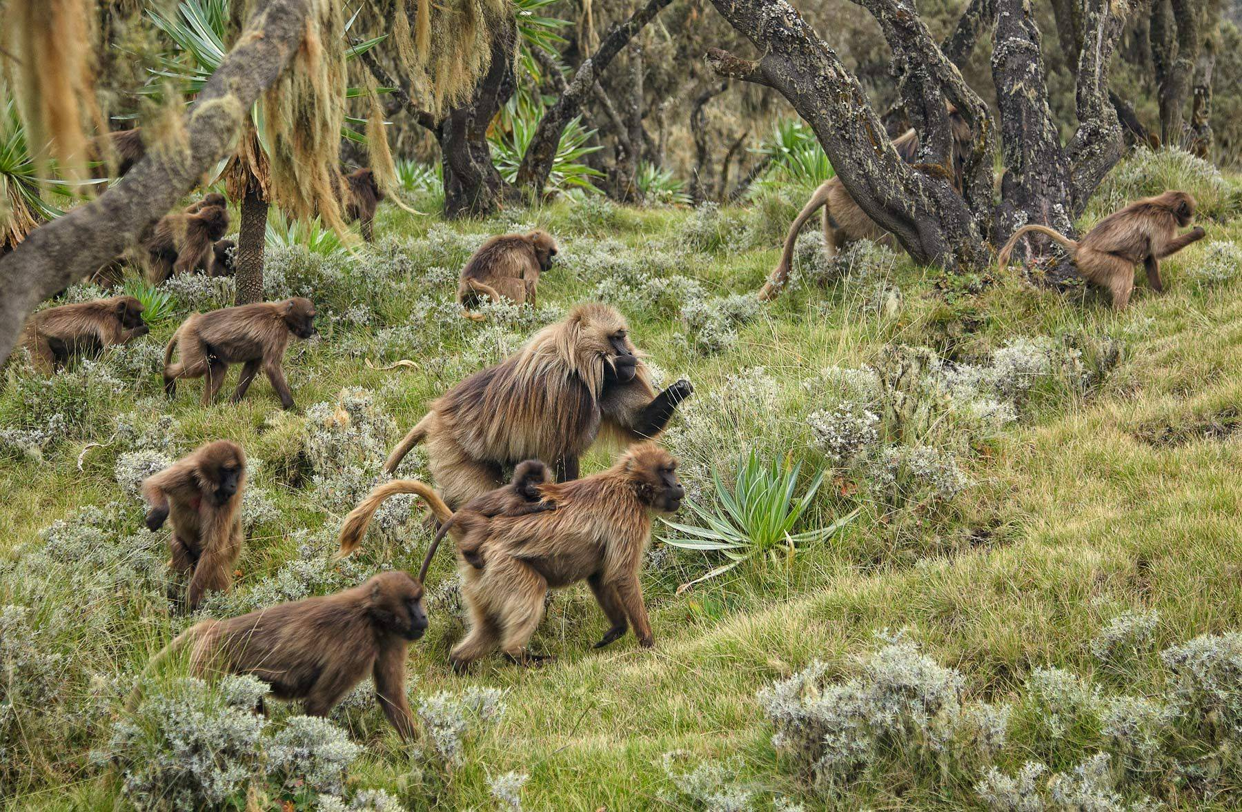 Gelada troop