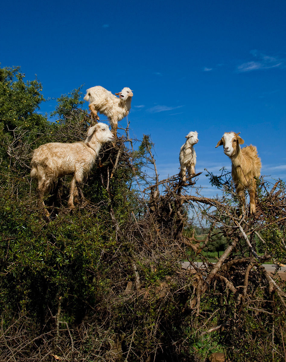Goats on Argan tree