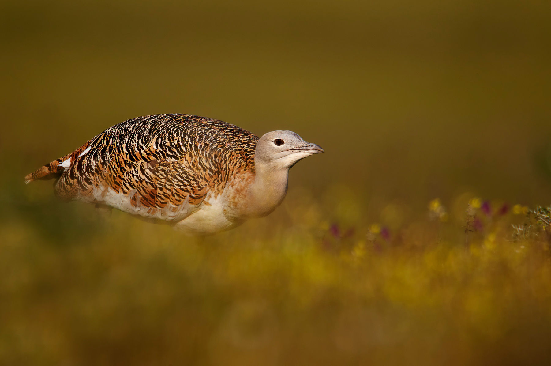 great bustard female