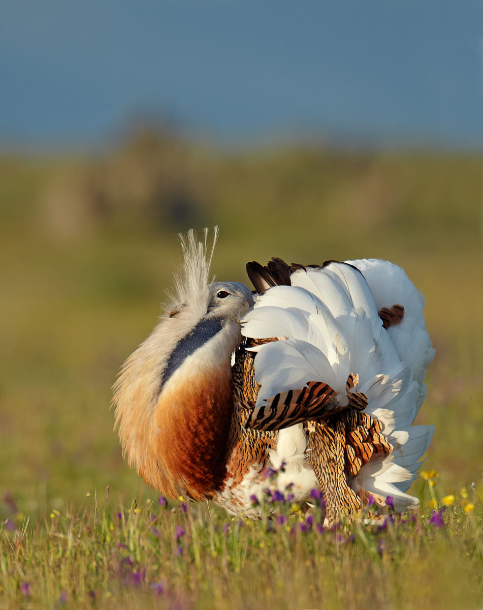 great bustard male