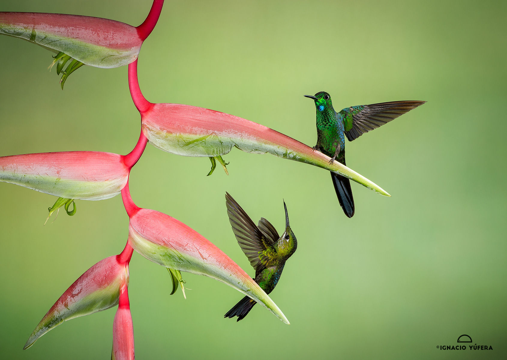 Green-crowned brilliant pair
