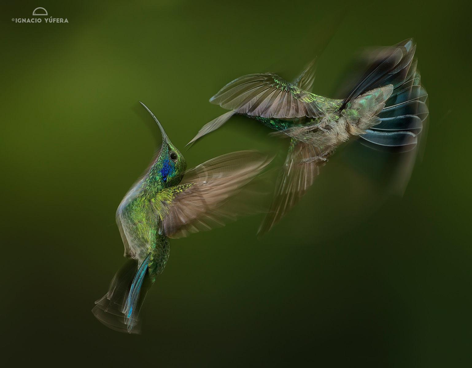 green violetear blur