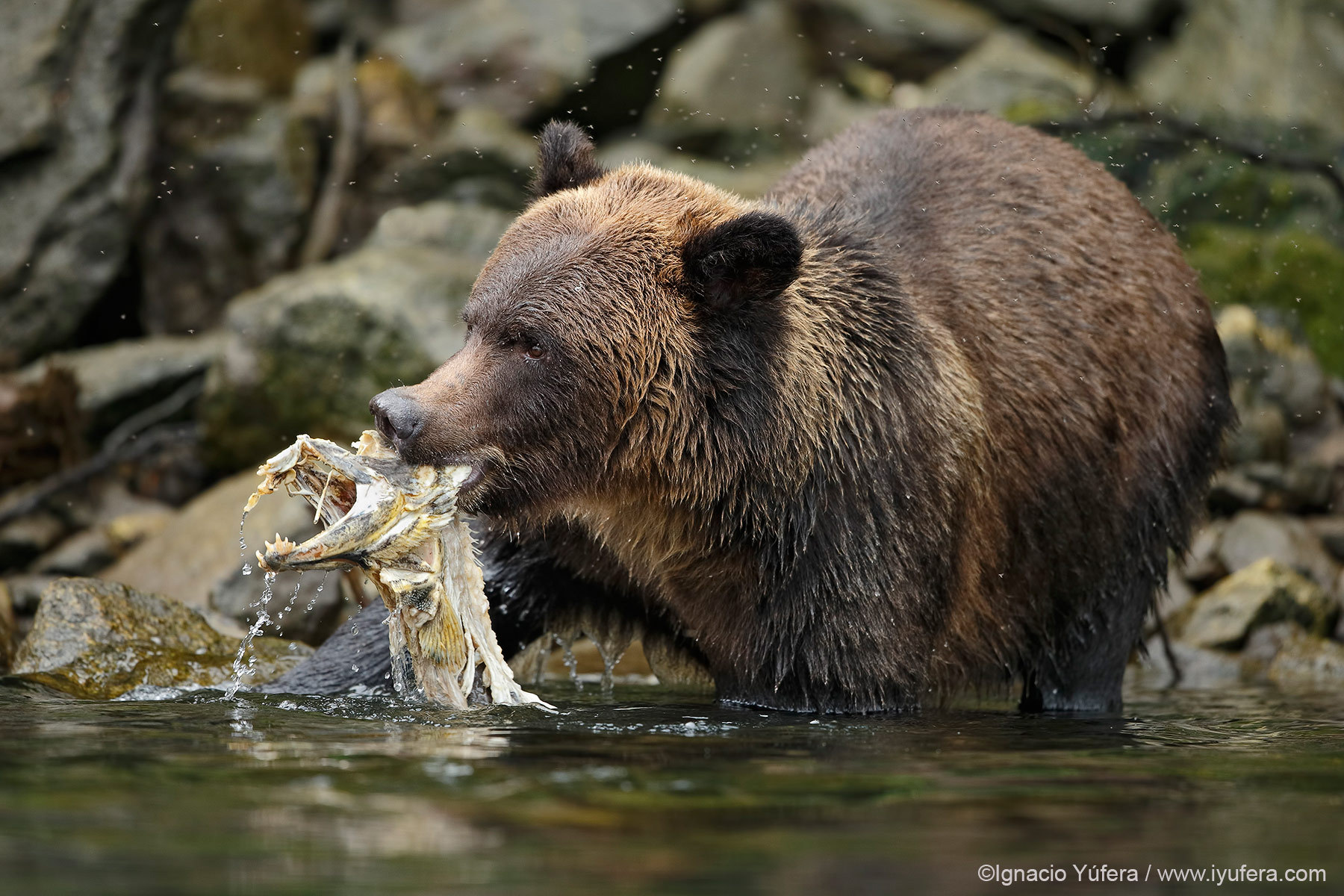 Grizzly bear with salmon carcass