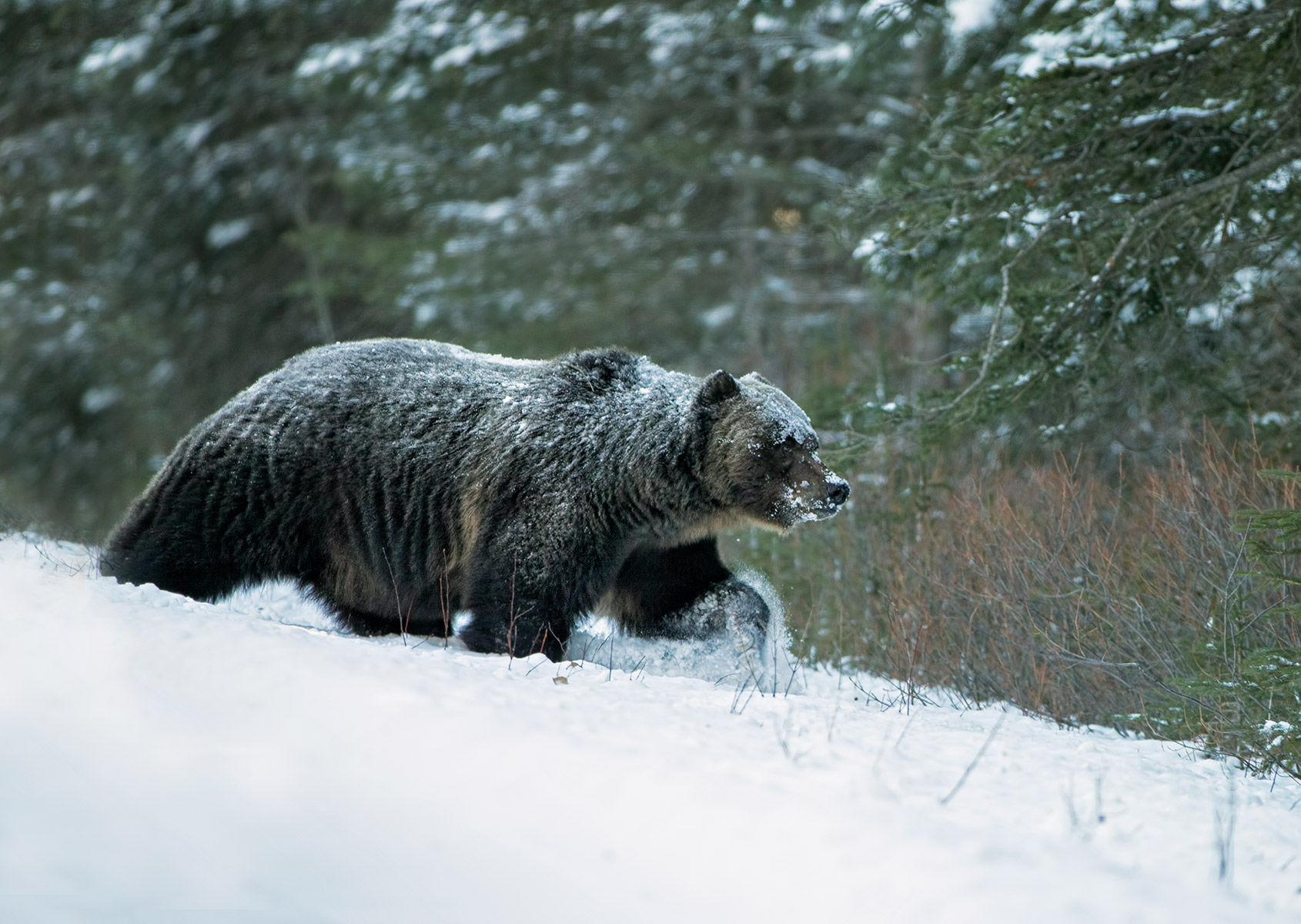 grizzly bear snow