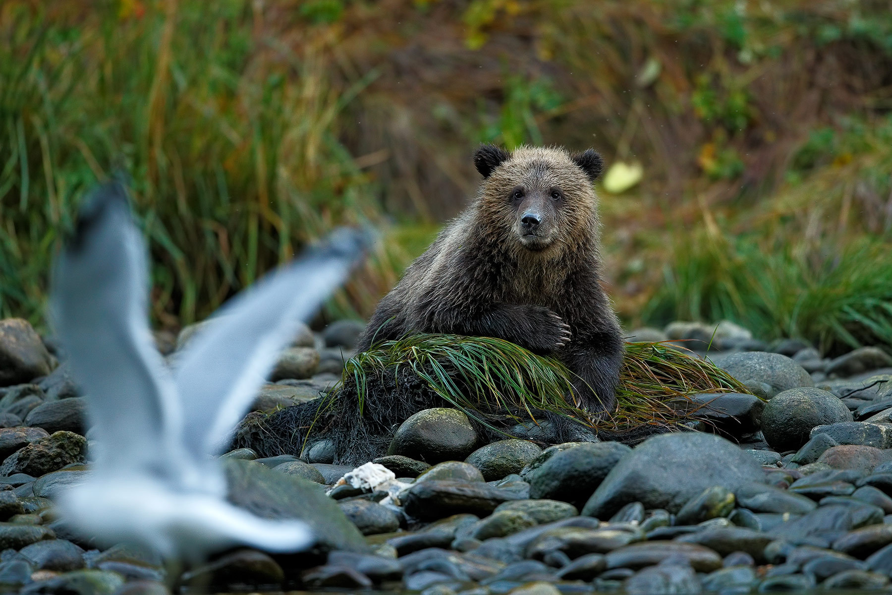 Grizzly cub and gull