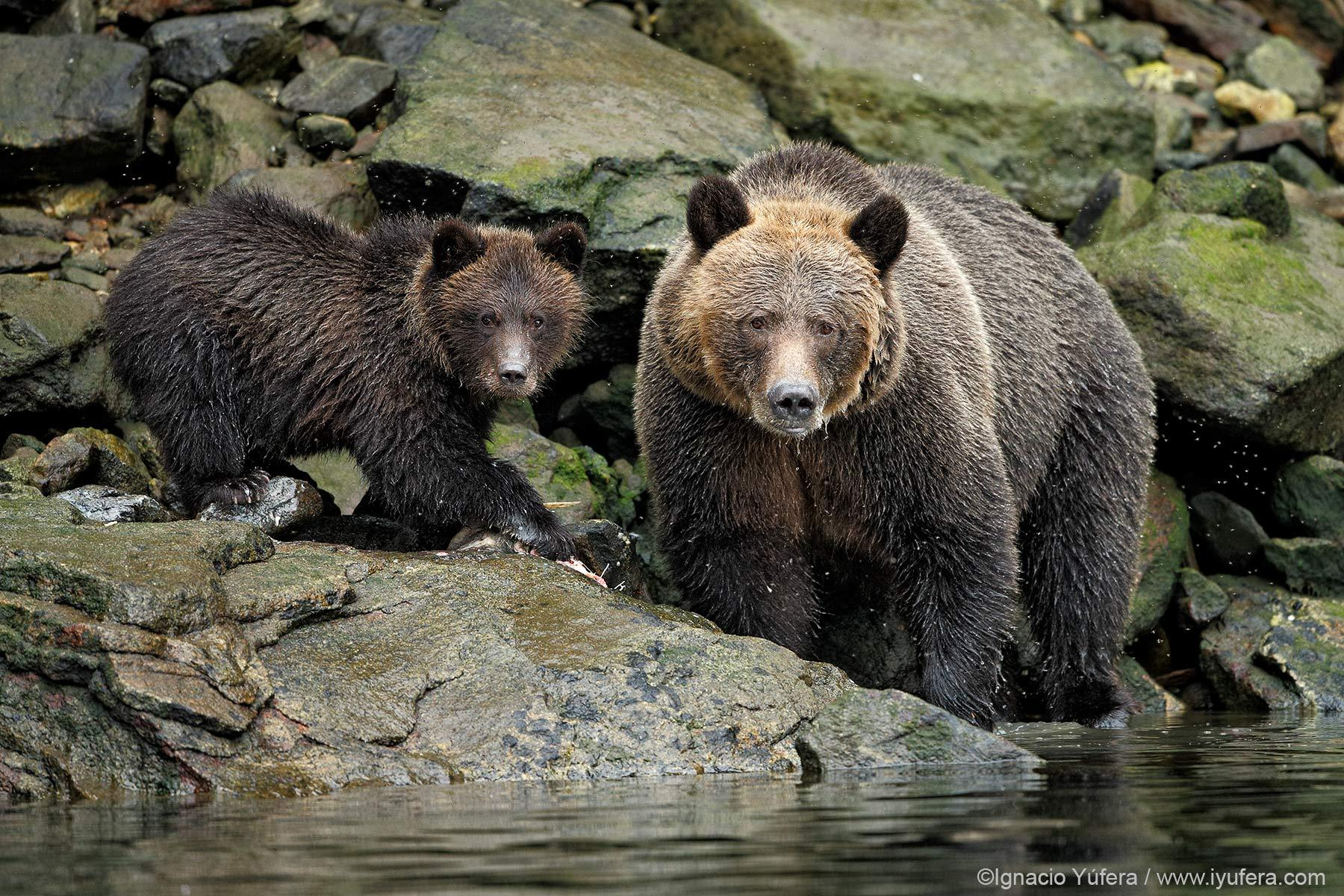 Grizzly sow and cub rocks