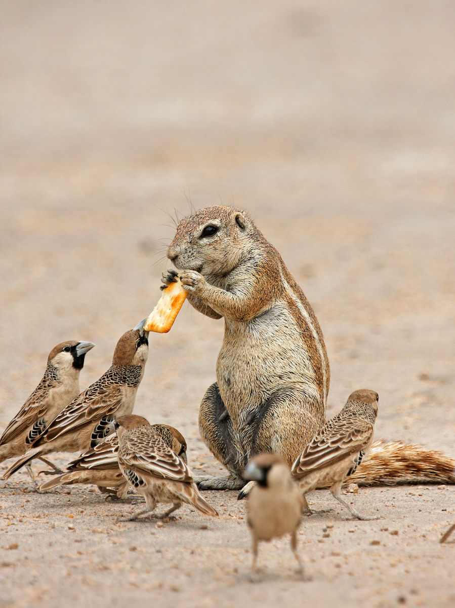 South African Gound Squirrel and Sociable Weaver