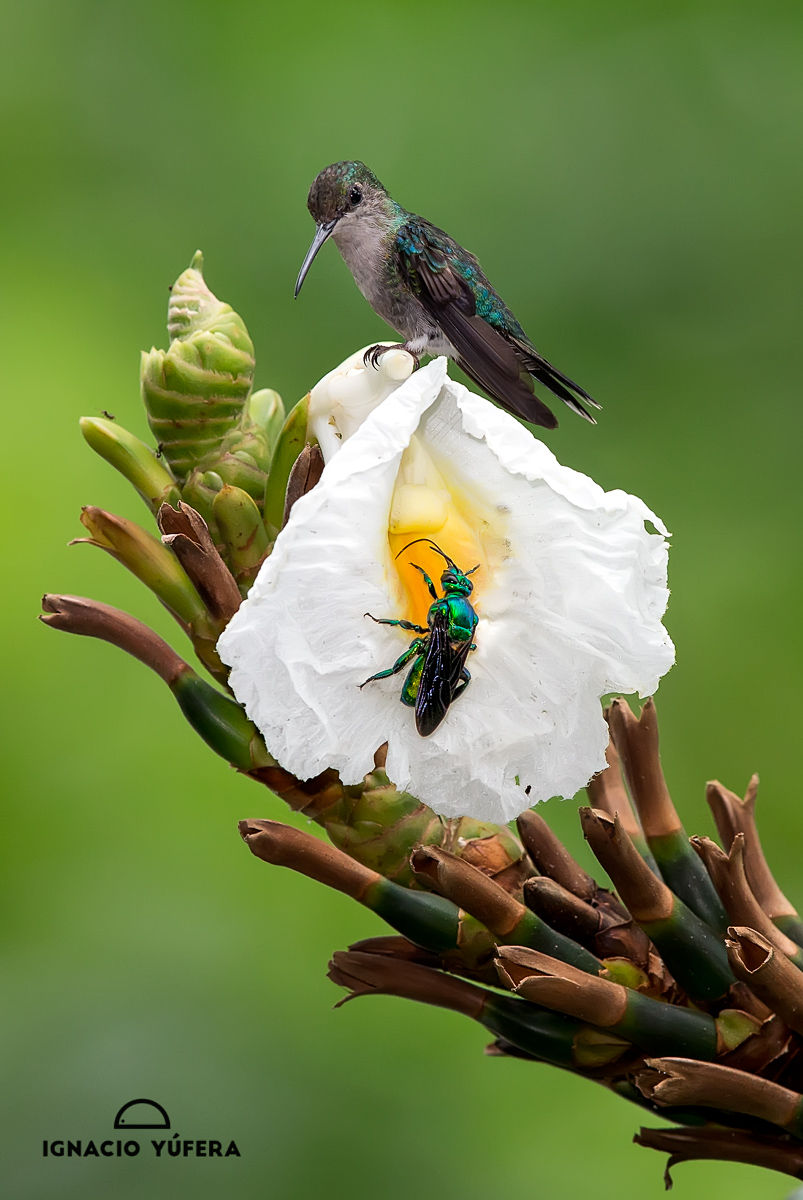 hummer bee