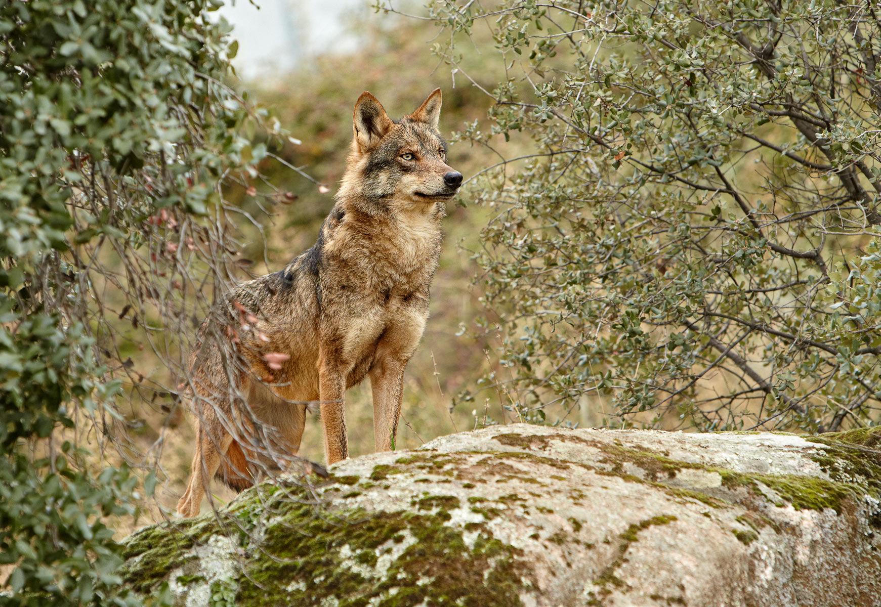 iberian wolf female