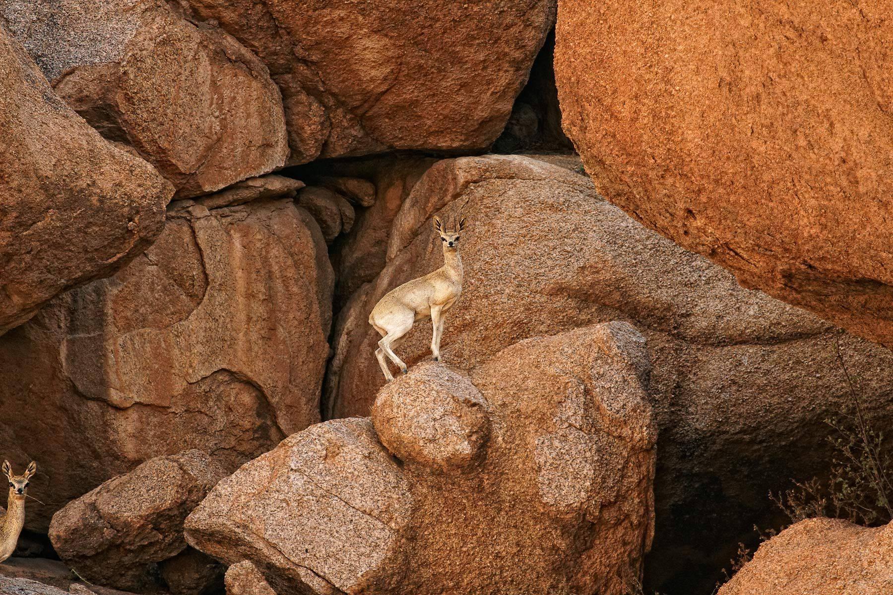 Angolan Klipspringer