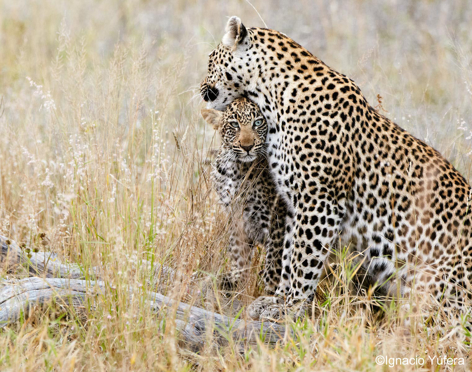 leopard female and cub