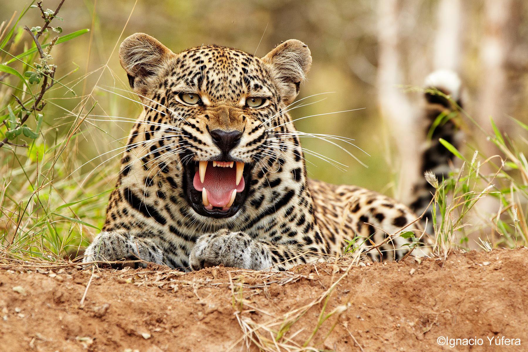 leopard snarl