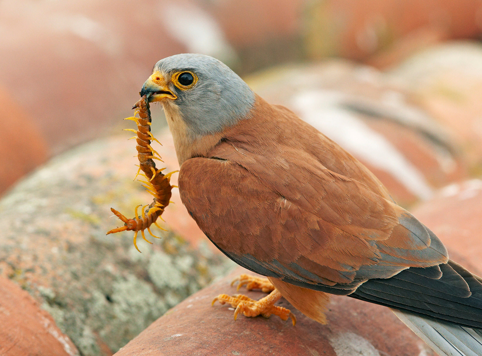 lesser kestrel and centipede