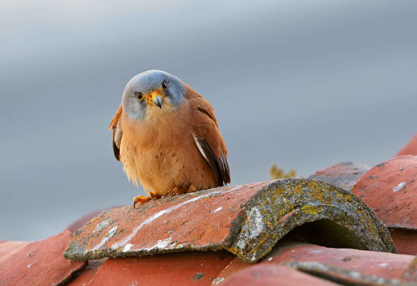 lesser kestrel male