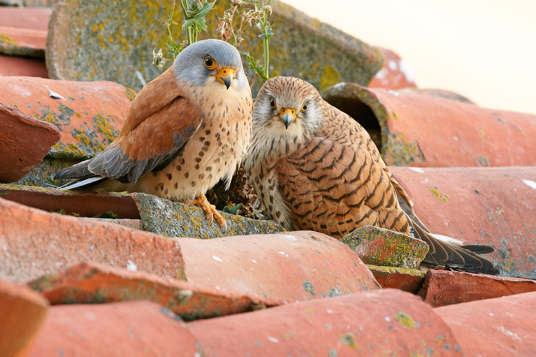 lesser kestrel pair