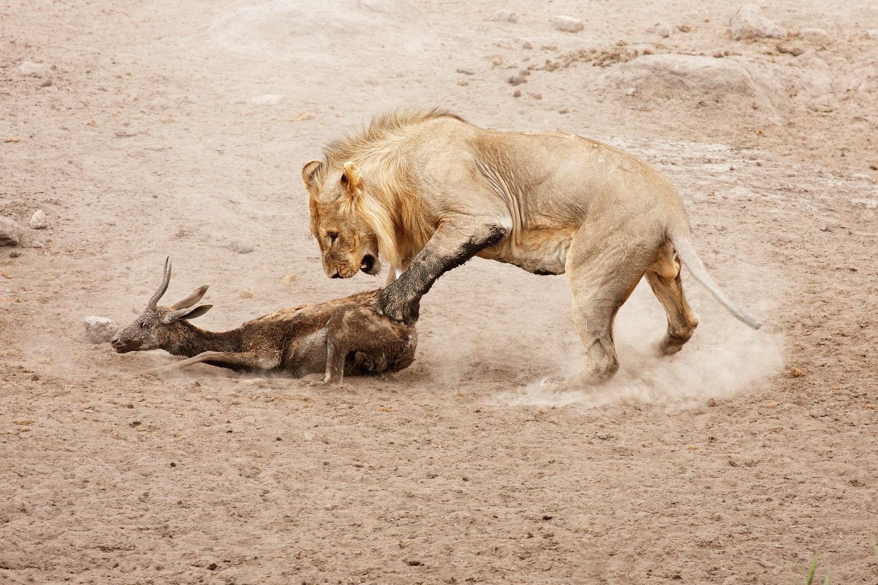 Lion and springbok