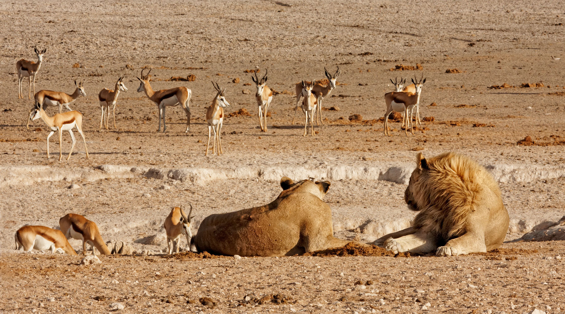 Lions and Springbok