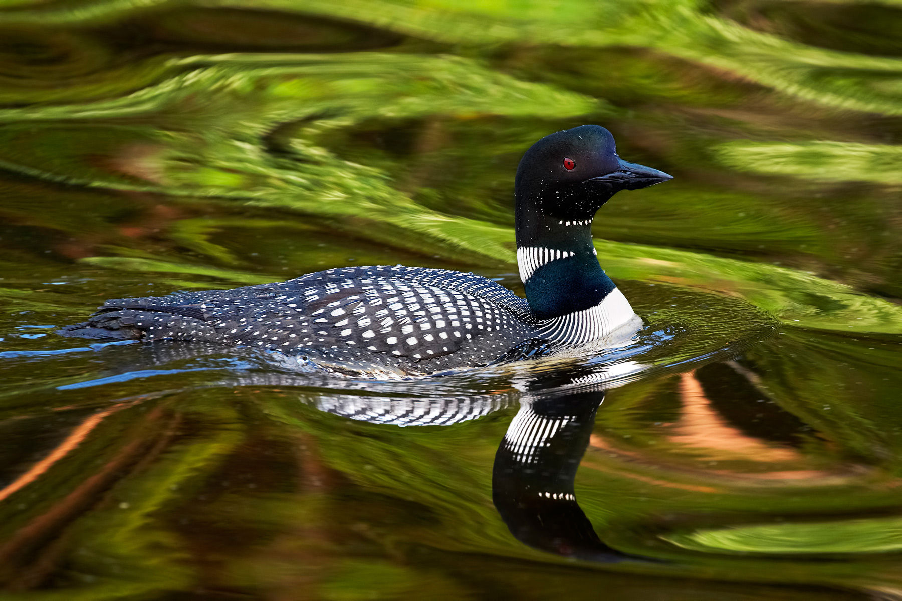 Great Northern Diver Common Loon