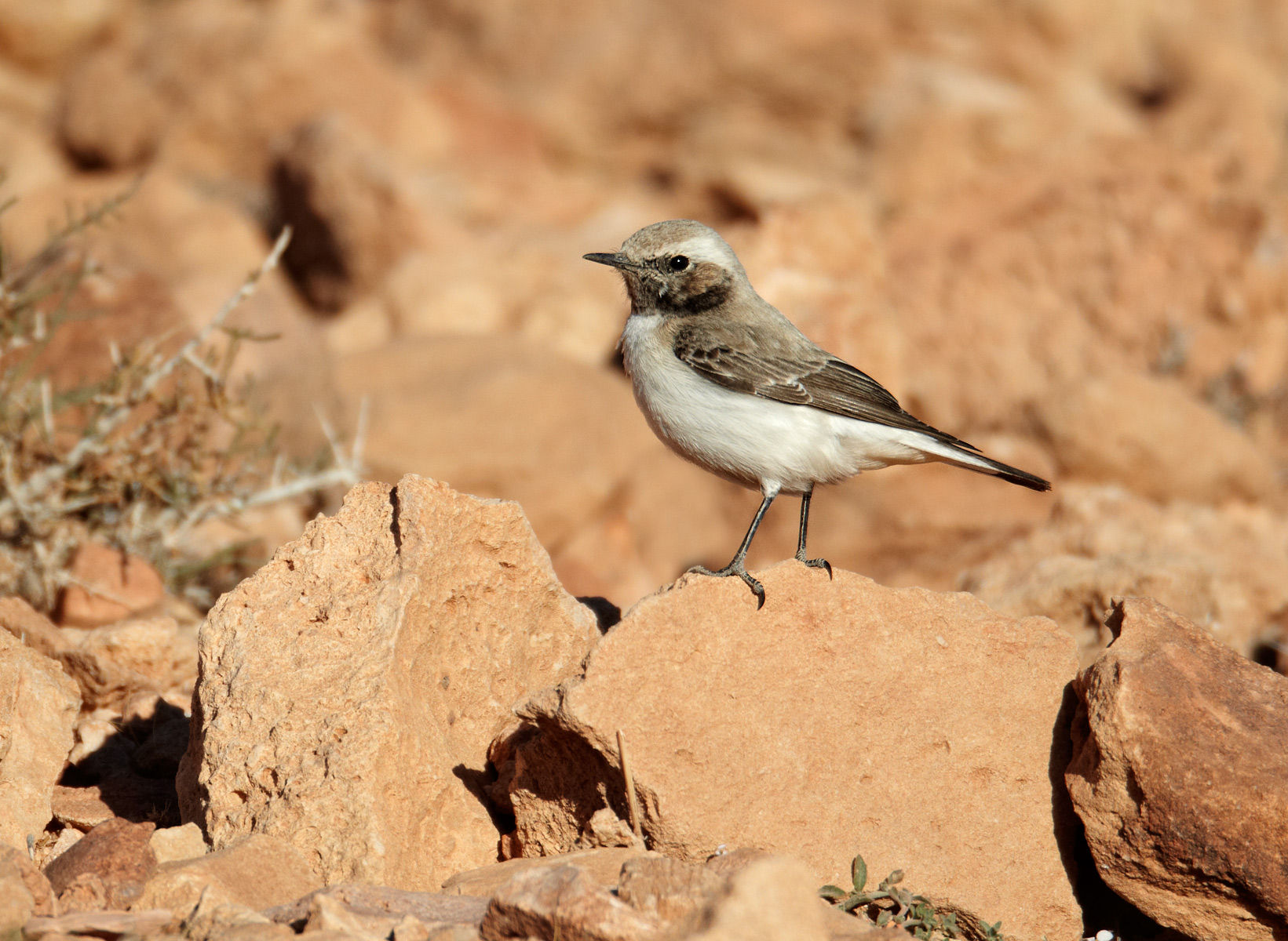 Maghreb Wheatear Female