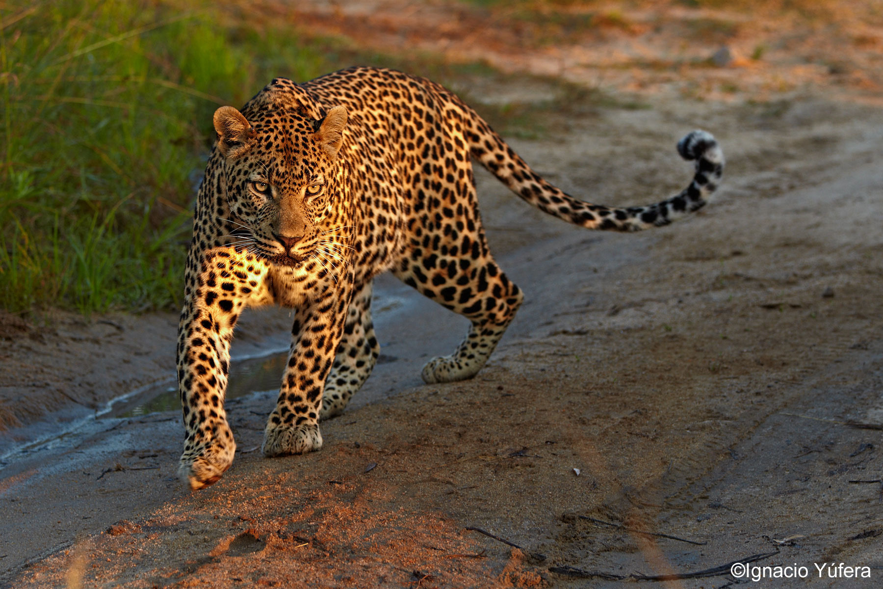 male leopard bright