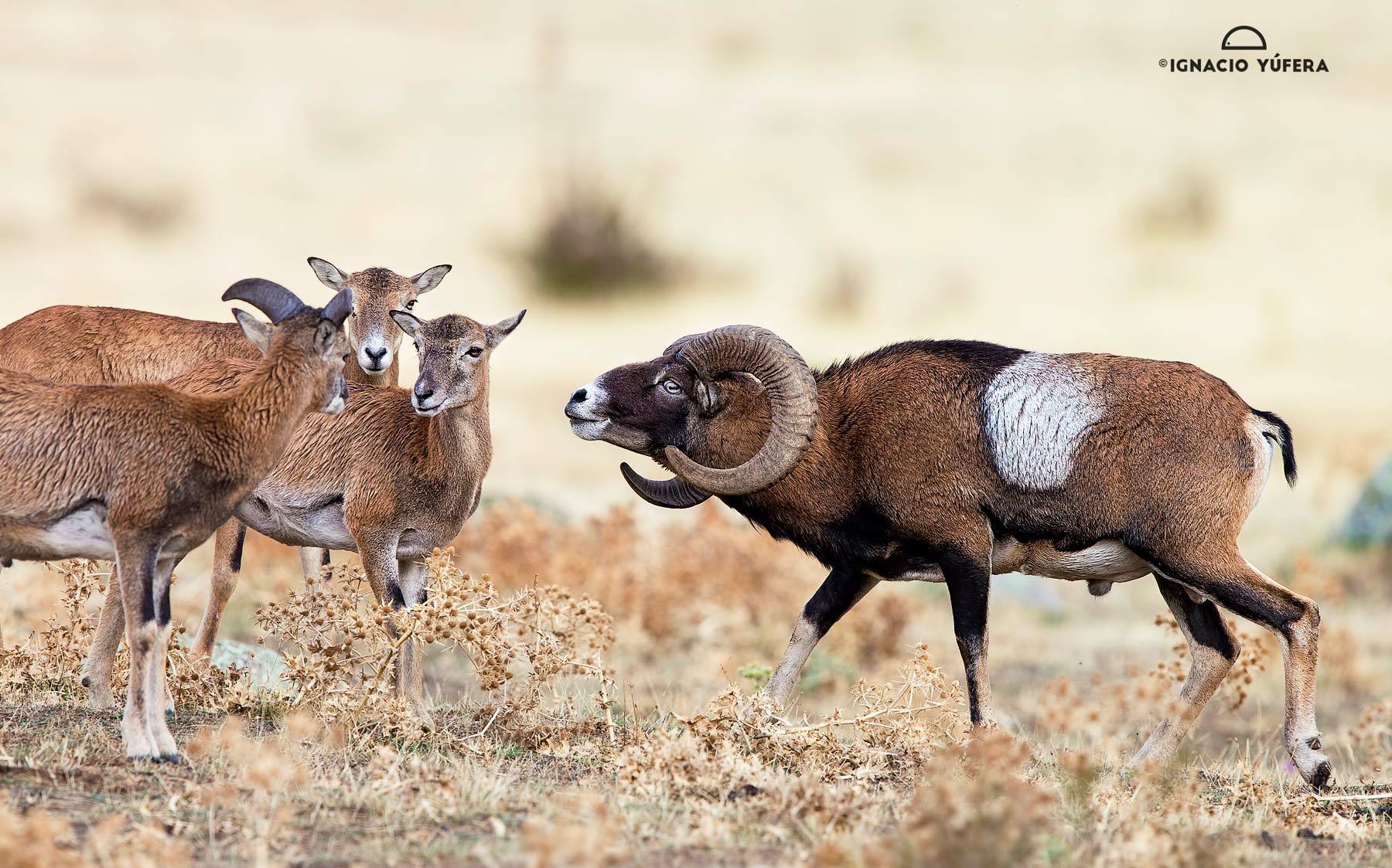 Mouflons Approach