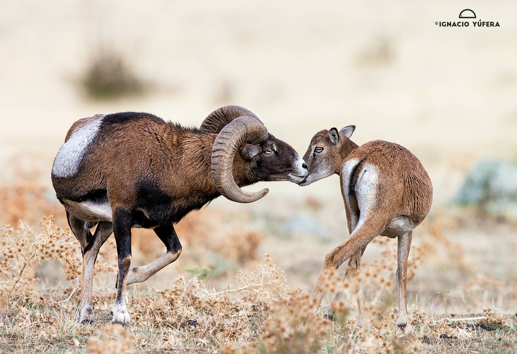 Mouflons Pair