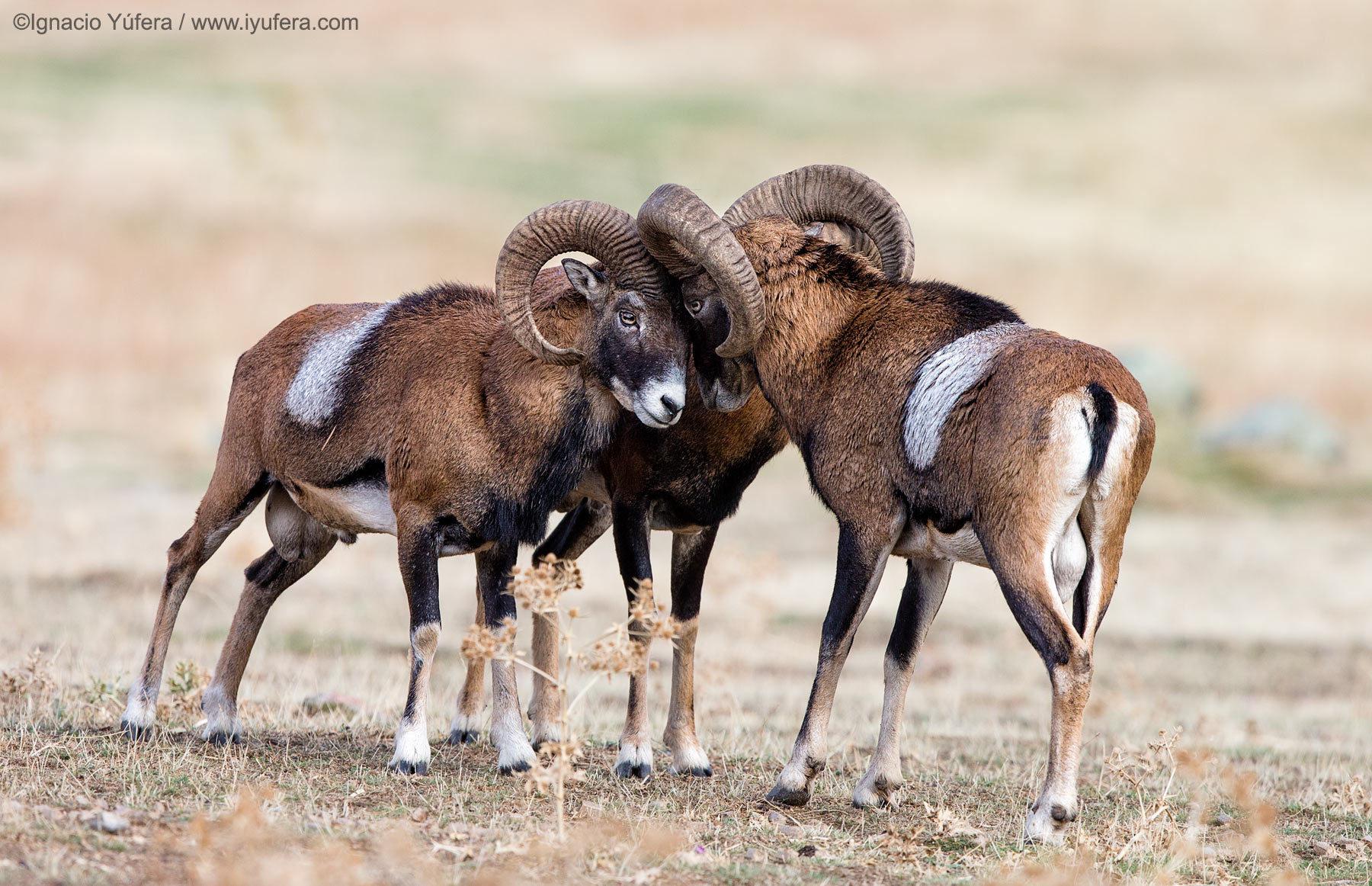 Mouflons Rams