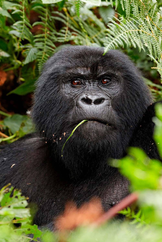 Mountain Gorilla Uganda