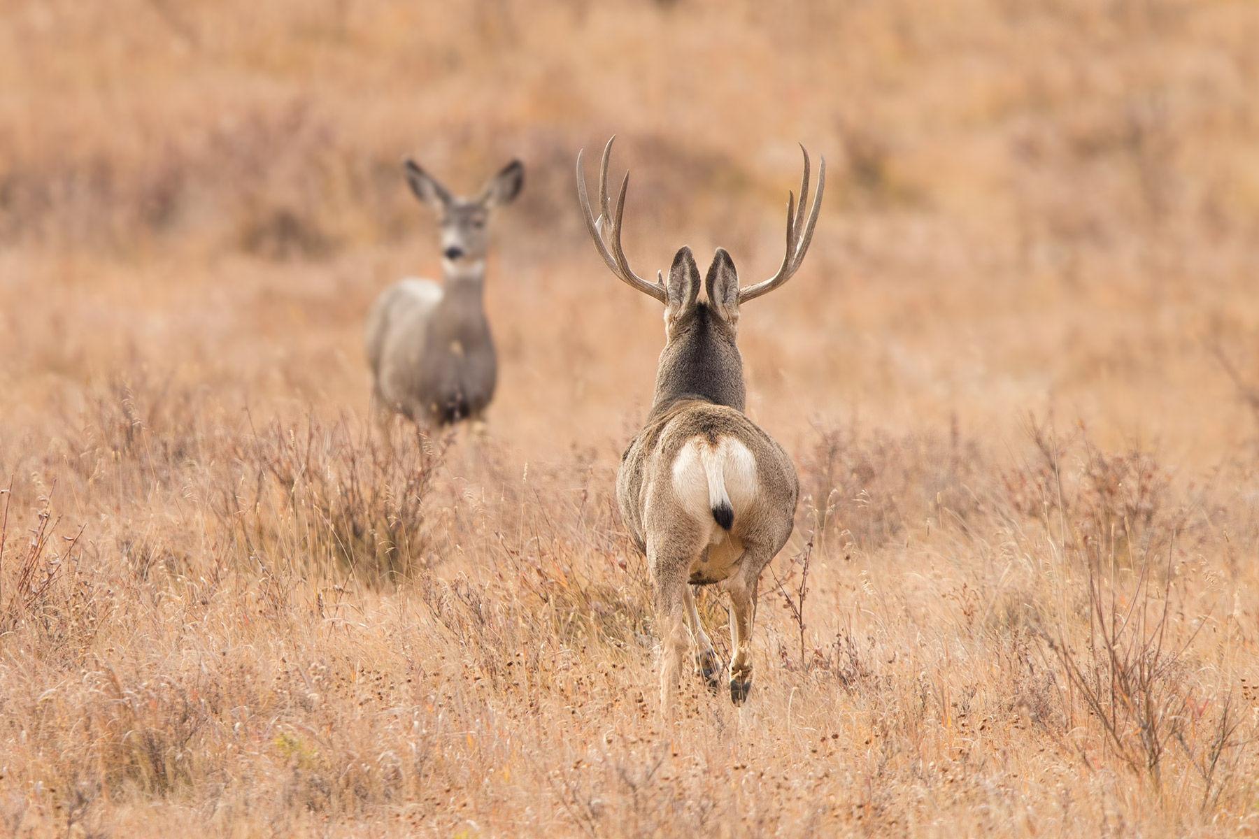 mule deer and doe