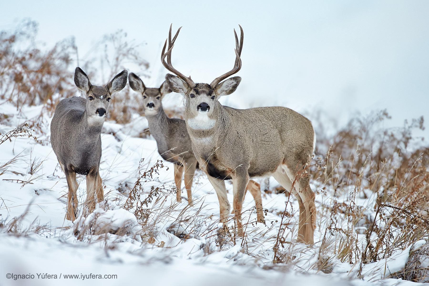 mule deer trio