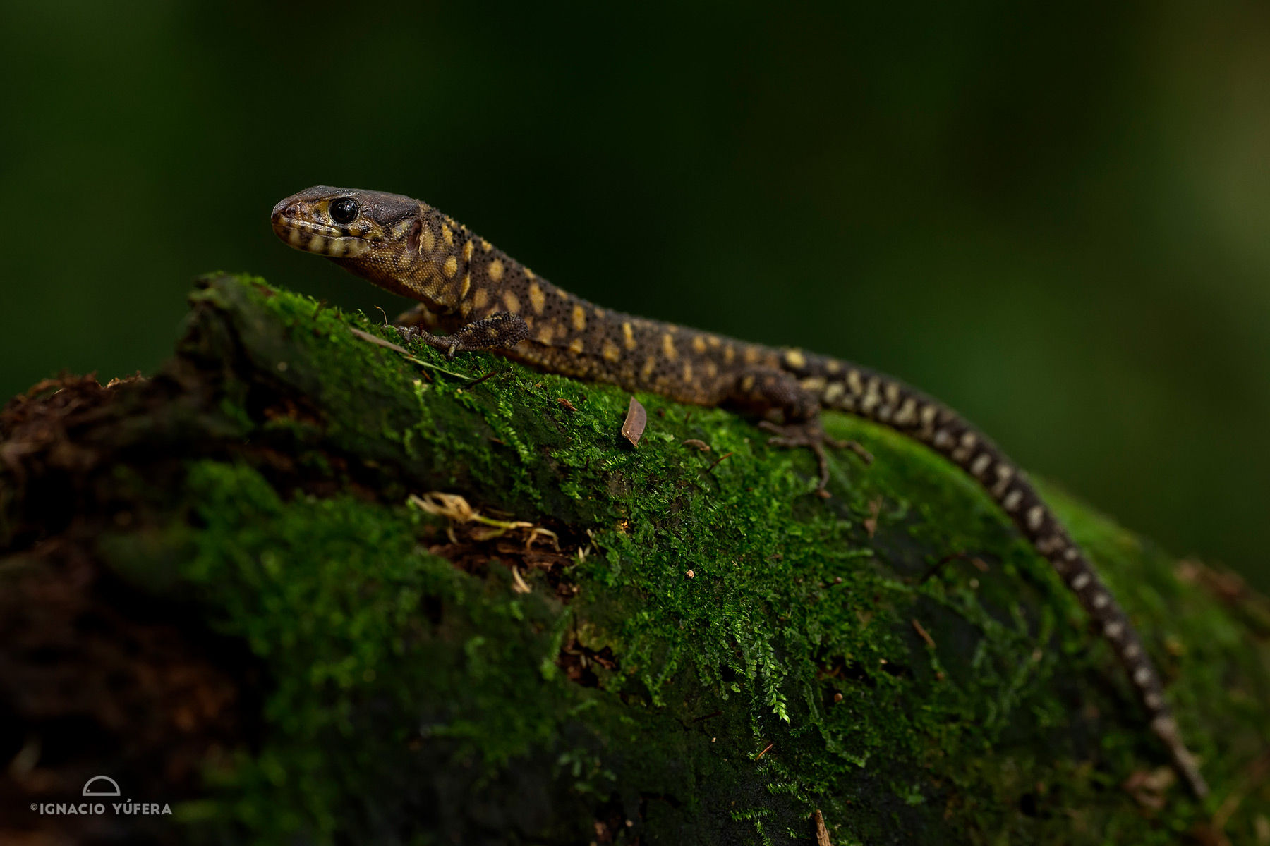 Tropical night lizard