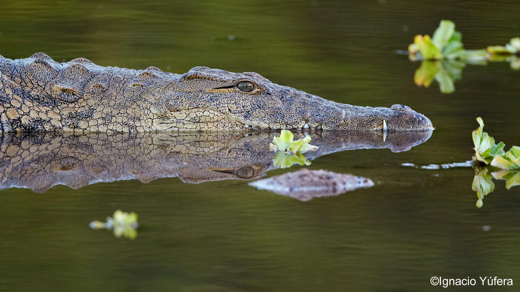 nile croc