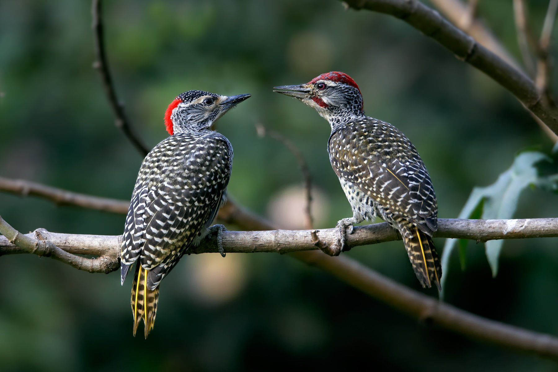 Nubian woodpeckers
