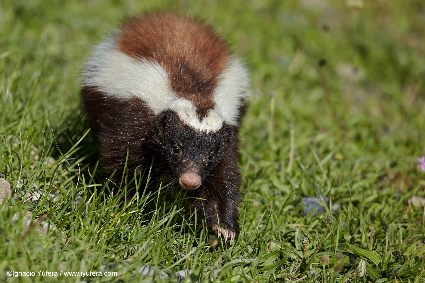 Patagonian Hog-nosed Skunk