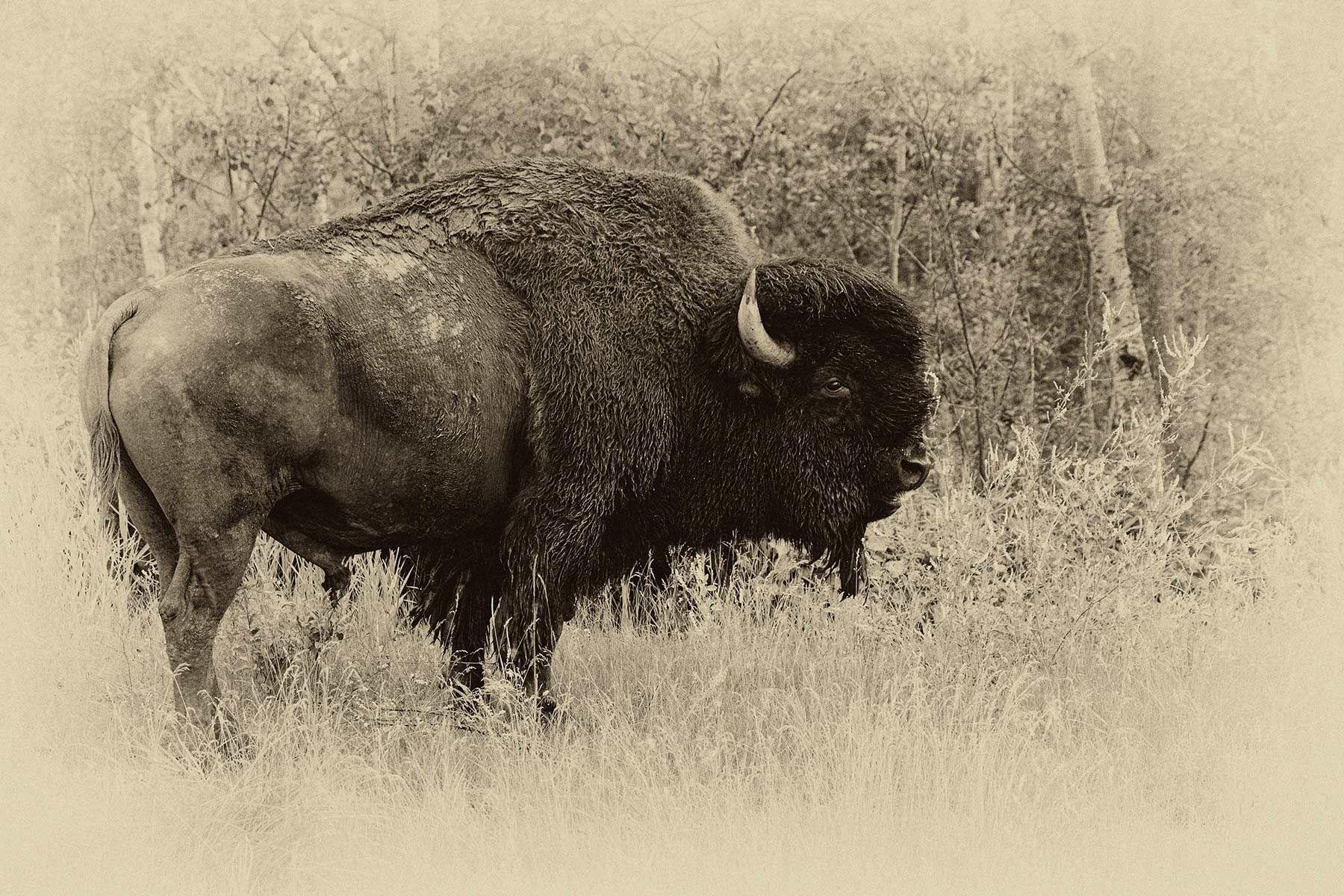 plains bison bull plate