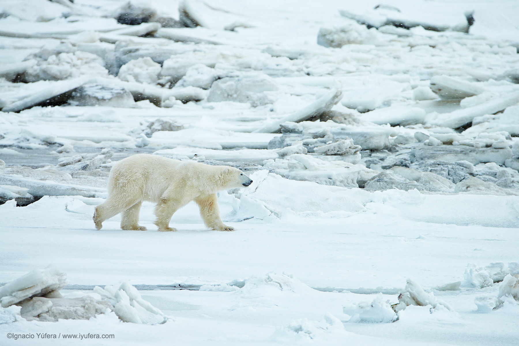 Polar bear (Ursus maritimus), young adult male walking on packed ice, Hudson Bay, Manitoba, November.