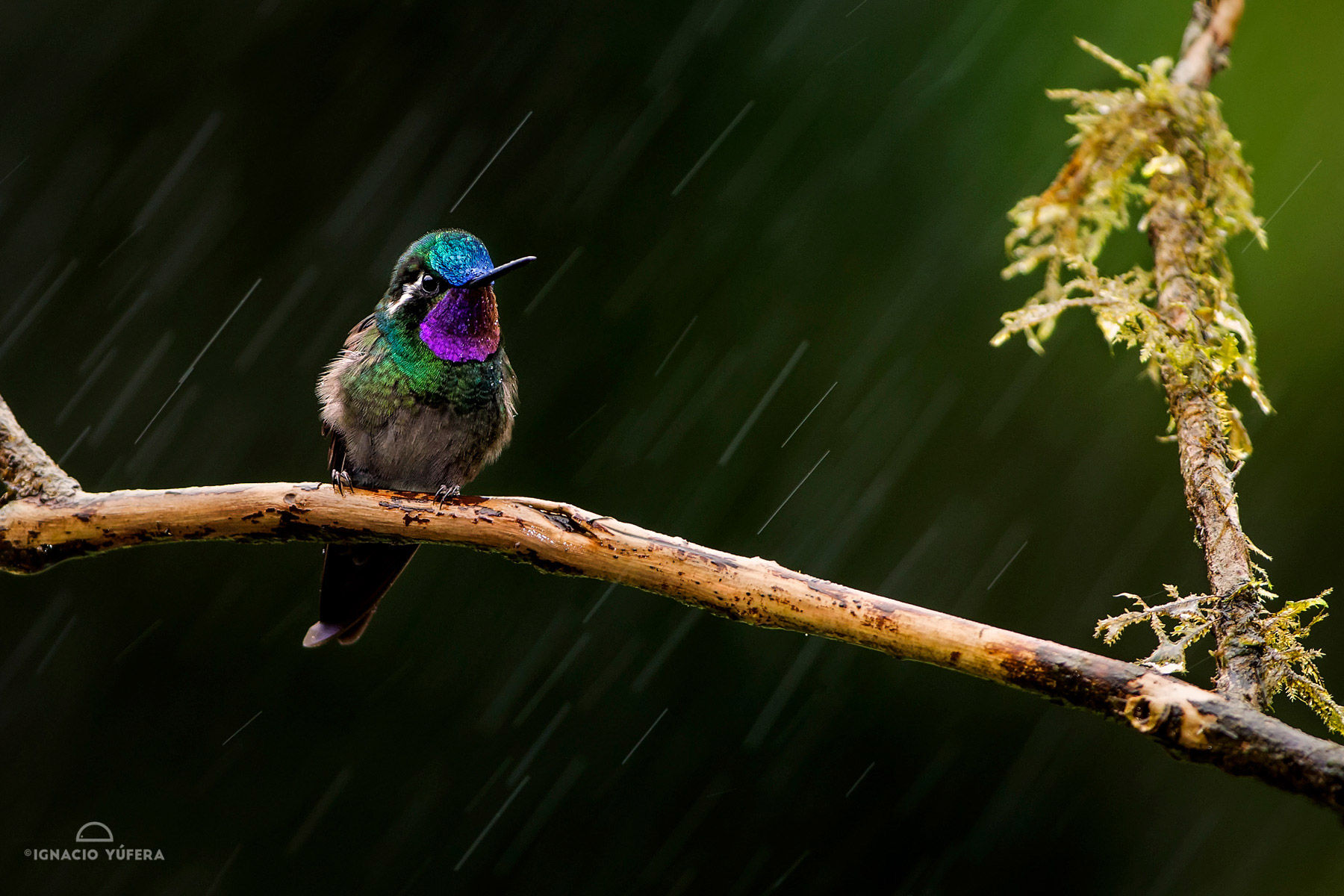 Purple throated mountain gem