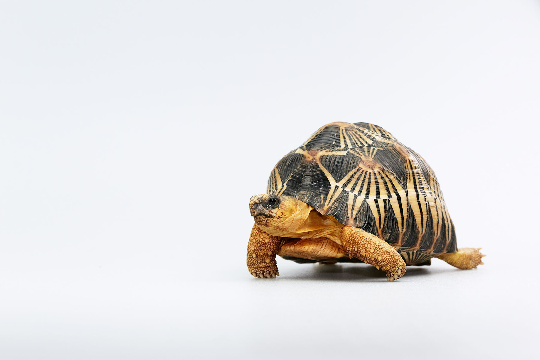 Radoated Tortoise
