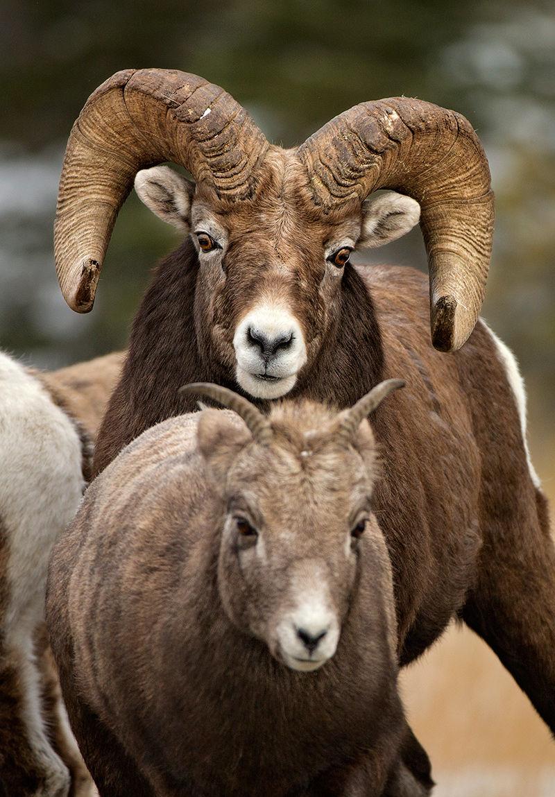 Ram Horny