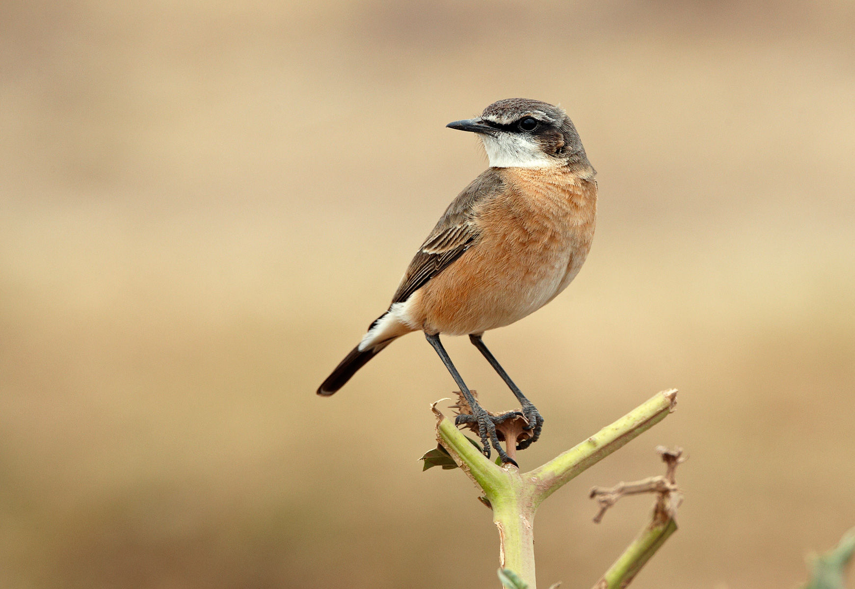 Red-breasted Wheatear