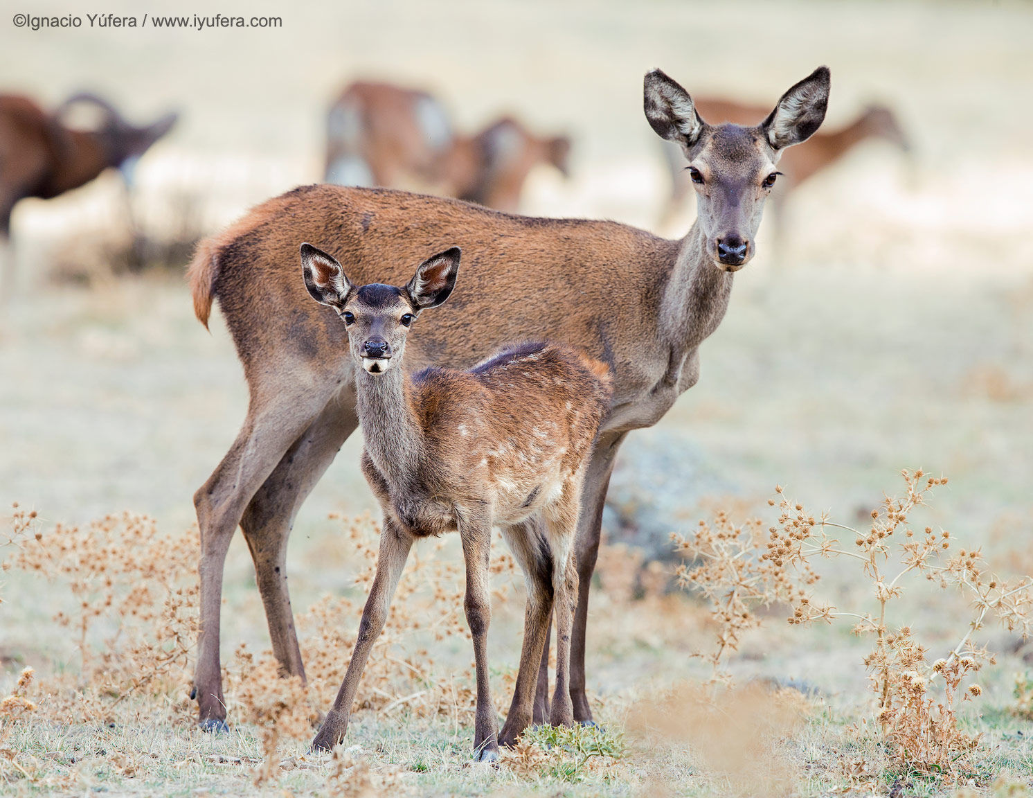 Red Deer Female and Young