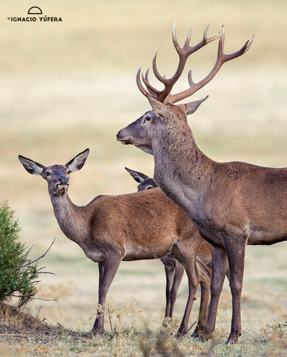Red Deer Trio