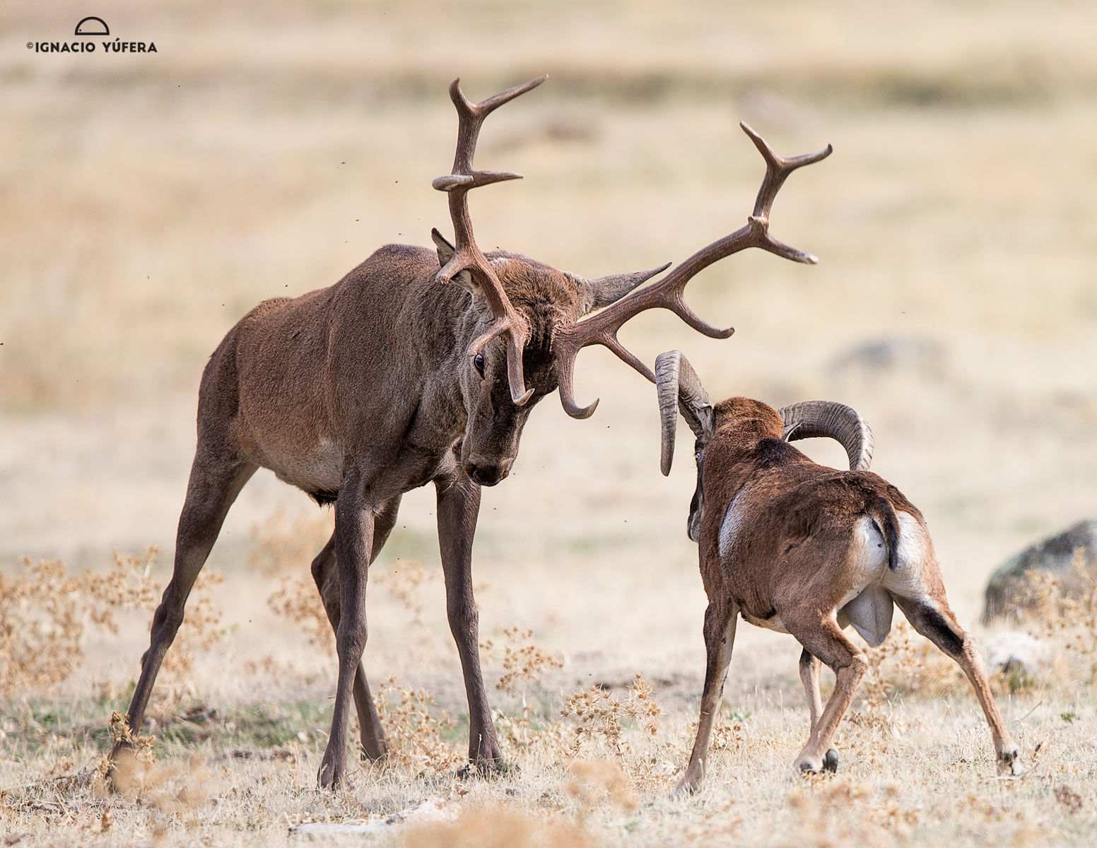 Red Deer Vs Mouflon